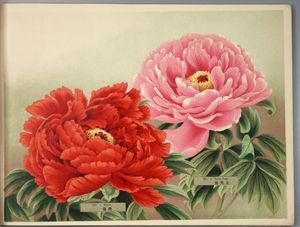 Thumbnail for the first (or only) page of Paeonia Moutan, a Collection of 50 Choice Varieties, Page 1.