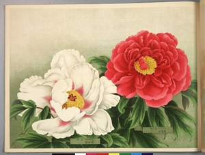 Thumbnail for the first (or only) page of Paeonia Moutan, a Collection of 50 Choice Varieties, Page 18.