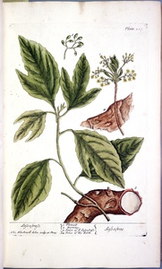 Thumbnail for the first (or only) page of Sassafras (Sassafras) - Plate 267.