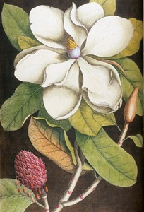 Thumbnail for the first (or only) page of Magnolia altissima, flore ingenti candido: The Laurel Tree of Carolina  .