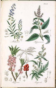 Thumbnail for the first (or only) page of Milkwort, Peppermint, Mezereon, Mugwort - Plate 33.