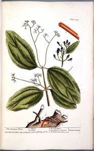 Thumbnail for the first (or only) page of Cinamomum (The Cinamon Tree) - Plate 354.