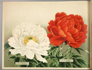 Thumbnail for the first (or only) page of Paeonia Moutan, a Collection of 50 Choice Varieties, Page 16.