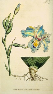 Thumbnail for the first (or only) page of Iris chinensis (Chinese Iris) - Plate 373.