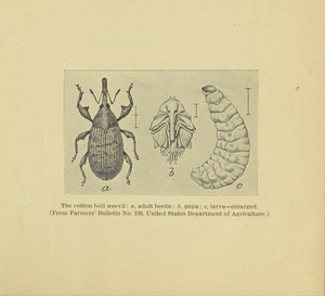 Thumbnail for the first (or only) page of Boll weevil illustration.