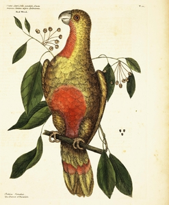 Thumbnail for the first (or only) page of Psittacus Paradisi ex Cuba. (The Parrot of Paradise of Cuba).