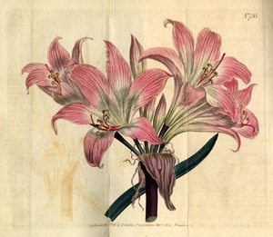 Thumbnail for the first (or only) page of Amaryllis belladonna (Belladonna Lily) - Plate 733.