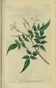 Thumbnail for the first (or only) page of Jasminum officinale (Common Jasmine or Jessamine) - Plate 31.