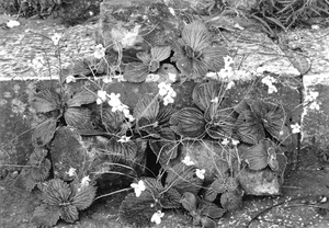 Thumbnail for the first (or only) page of Undetermined. Ming Tomb, China. [August] 23, 1930. These plants were collected outside of the tomb (Yung Lo's) along the side of a ravine among the rocks and were arranged on the stone steps of one of the towers in the tomb compound. The flowers very much resemble violets both in shape and color. This plant should be good for rockeries in shady moist situations. Seed and herbarium specimens #7032. Photograph #45641..