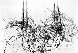 Thumbnail for the first (or only) page of Soy bean. Two inoculated plants on the right, two uninoculated plants on the left. This is the first example of artificial inoculation of legumes done in the Bureau of Plant Industry, September 1897. Japanese soy bean soil was imported by Mr. D.G. Fairchild and sown in drills of newly cleared, sandy pine land at Woodwardville, Md. by M.B. Waite with checks untreated. Inoculated plants averaged 25 tubercles per plant, uninoculated one to two tubercles. Waite..