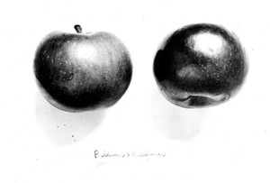 Thumbnail for the first (or only) page of Apple-pollination experiments. Baldwin apple, Geneva, N.Y., hand pollinated with Bellflower by D.G. Fairchild, Autumn, 1892..