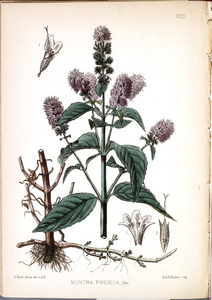 Thumbnail for the first (or only) page of Mentha piperita - Plate 203.