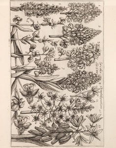 Thumbnail for the first (or only) page of Orchis Ornithogalum.
