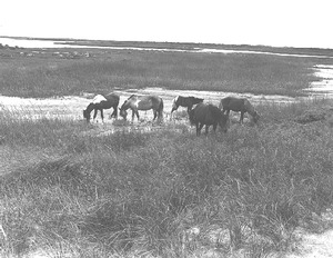 Ponies grazing at Chincoteague
