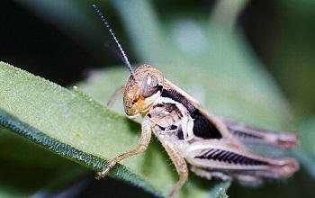 Melanoplus grasshopper on a leaf