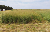 Switchgrass as a bioenergy crop.  (Photo credit ARS)