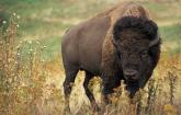 American bison stands on rangeland