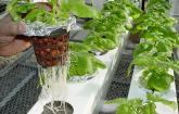 hydroponic potatoes