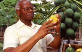 Man examines papaya plant. Courtesy of APHIS