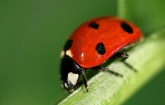 A lady beetle sits on a leaf stem at the U.S. Department of Agriculture's (USDA) Agricultural Research Service (ARS) North Central Laboratory in Brookings, SD on Nov. 11, 2011. Coccinella septempunctata is a predatory lady beetle introduced into North Ame