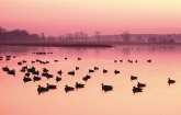 Waterfowl swimming in Chesapeake Bay