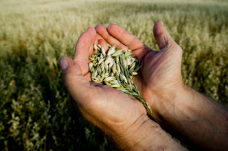 Small grains in the palm of hands (Copyright IStock).