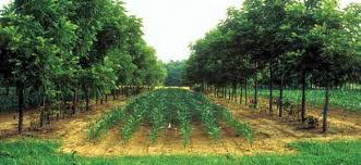 Alley Cropping (Source: USDA Nat'l Agroforestry Center).