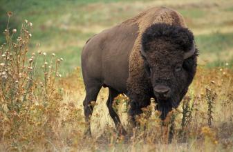 Bison (Source: USDA)