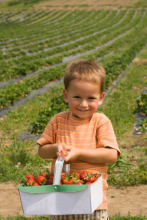 Young boy holding basket of picked strawberries. (Copyright IStock)