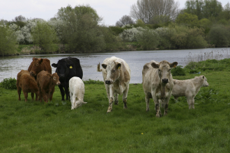 Livestock grazing on grass. (Copyright IStock)