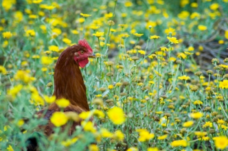 Rooster raised in urban agriculture setting. (Copyright IStock)