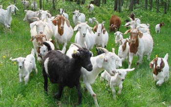Goats in a meadow