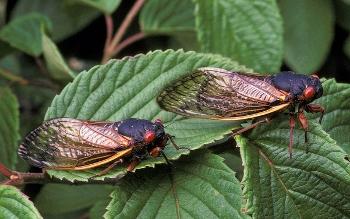 2 cicadas (magicicada) sit on a leaf