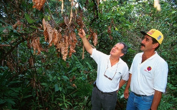 Farm personnel assess damage from a large, dry witches'-broom growth in a cacao tree at the Luz de Maria farm in Uruçuca, Brazil