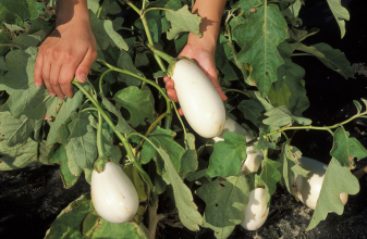 White eggplant in field. USDA ARS Photo by Peggy Greb.