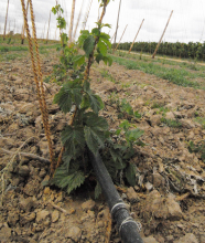 Drip irrigation being used in a field.