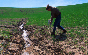 U.S. Department of Agriculture (USDA) Agricultural Research Service scientist examines the severe soil erosion in a wheat field near Washington State University, Washington