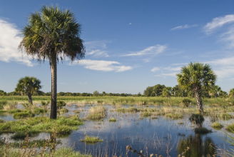 Wetlands with palm trees. Florida landowners in the Northern Everglades use conservation easements as a tool to restore their wetlands. Photo courtesy of NRCS.