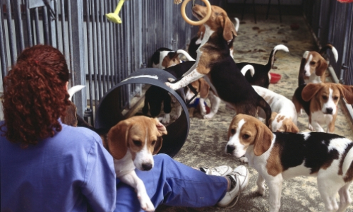 beagle dogs playing in a social housing kennel