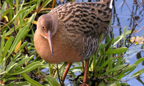 Endangered bird nesting in water